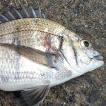 茨城県北茨城市の漁港へ団子釣り(紀州釣り)での黒鯛(カイズ)釣り